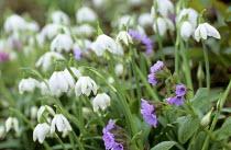 Galanthus 'Hill Poë', Pulmonaria saccharata 'Frühlingshimmel'