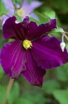 Clematis 'Viola'