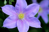 Clematis 'Blue Eyes'