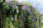 Clematis macropetala on pergola, bird nesting box