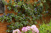 Ceanothus trained on wall, rhododendron