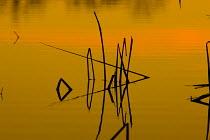 Patterns of reeds in lake at sunset, Arizona