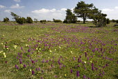 Early purple orchids and Elder-flowered orchids in old limestone grassland