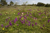 Early purple orchids, Elder-flowered orchids and cowslips in old limestone grassland