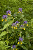 A cow-wheat, Melampyrum nemorosum, from Sweden and the Alps
