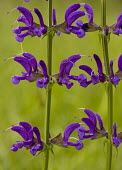 Meadow Clary, Salvia pratensis
