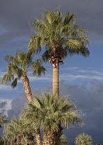 Desert Fan Palm,  Washingtonia filifera in the Californian desert