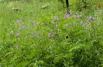 Meadow with Geranium pratense, wooden bench