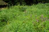 Meadow, Silene dioica, view to bench
