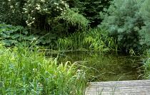 Decking by wildlife pond, Iris pseudacorus, ligularia, Salix alba