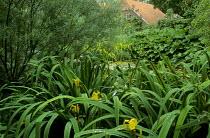 Iris pseudacorus and salix by pond