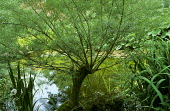 Pollarded willow by pond