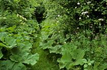 Grass path between Ligularia dentata leaves, Valeriana officinalis