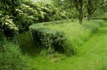 Curved hawthorn hedge, meadow, Elderflower