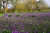 Crocus vernus and Anemone blanda in orchard, daffodils, willows