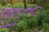 Daffodils and Crocus vernus naturalised in orchard