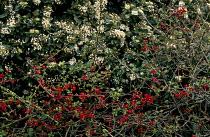 Chaenomeles japonica, Viburnum tinus