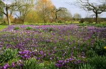 Crocus vernus and Anemone blanda naturalised in orchard, daffodils, willows
