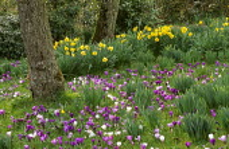 Daffodils, Crocus vernus in lawn