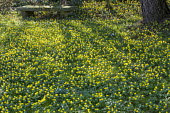 Carpet of Eranthis hyemalis and snowdrops under tree, bench