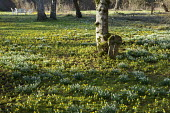 Carpet of Eranthis hyemalis and snowdrops under trees