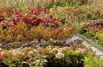 Path through hydrangea nursery