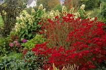 Euonymus alatus 'Compactus', Hydrangea paniculata 'October Bride'