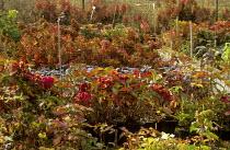 Hydrangea plant nursery