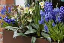 Helleborus x ericsmithii, muscari, hyacinths and daffodils in window box