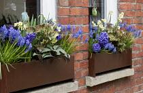 Helleborus x ericsmithii, muscari, hyacinths and daffodils in window boxes