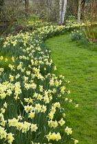Daffodils lining grass path