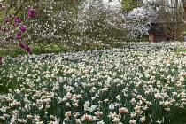 Narcissus 'Precocious', Magnolia stellata