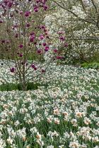Magnolia 'Black Tulip', syn. Magnolia 'Jurmag1', Narcissus 'Precocious', Magnolia stellata
