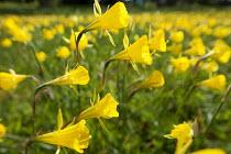 Narcissus bulbocodium naturalised in meadow