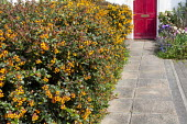 Flowering hedge of berberis