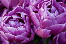 Tulipa 'Blue Diamond'