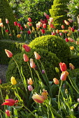 Colourful tulips in box-edged beds