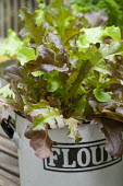 Cut and come again lettuce leaves in recycled containers, parsley