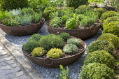 Herbs in metal cauldrons, thyme, clipped box balls