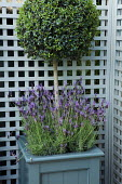 Clipped standard box ball in container underplanted with French lavender, trellis screen