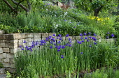 Iris sibirica against dry-stone wall in terraced garden