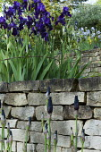Terraced garden with Iris After Dark' and 'Blue Reflection', dry-stone walls