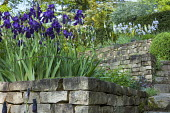 Terraced garden with Iris After Dark' and 'Blue Reflection', Eremurus himalaicus, Pyrus salicifolia 'Pendula', dry-stone walls