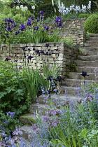 Terraced garden with Iris 'Study In Black', 'After Dark' and 'Blue Reflection', Allium stipitatum 'White Giant', Eremurus himalaicus, nepeta, alliums, dry-stone walls