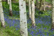 English bluebells in silver birch wood
