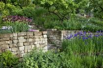 Iris 'Morning Show', Iris sibirica, dry-stone walls