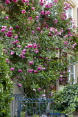Rosa 'Tanklewi' Lawinia climbing on house wall,