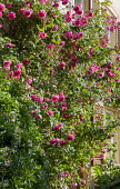Rosa 'Tanklewi' Lawinia climbing on house wall