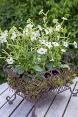 Nicotiana in wire basket with moss, table decoration