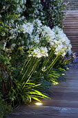 Agapanthus africanus 'Albus' in border, uplighters in decking, Trachelospermum jasminoides